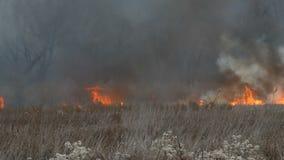 Fuoco bruciante in natura, disastro naturale Alta fiamma enorme di un fuoco della tempesta che brucia l'erba asciutta ed i cespug video d archivio