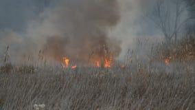Fuoco bruciante in natura, disastro naturale Alta fiamma enorme di un fuoco della tempesta che brucia l'erba asciutta ed i cespug archivi video