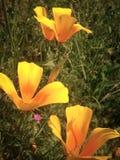 Fuoco dei fiori arancio del prato di anima immagini stock