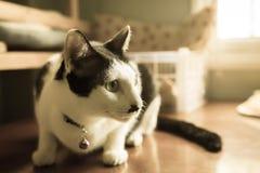 Fuoco del gatto siamese del ritratto sugli occhi con stile d'annata di effetto del filtro retro Fotografia Stock