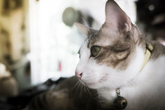 Fuoco del gatto siamese del ritratto sugli occhi con stile d'annata di effetto del filtro retro Immagini Stock
