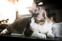 Fuoco del gatto siamese del ritratto sugli occhi con stile d'annata di effetto del filtro retro Fotografia Stock Libera da Diritti