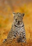 Fuoco del leopardo Fotografia Stock Libera da Diritti
