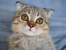 Fuoco del primo piano sugli occhi di un gatto sveglio dorato del gattino con grande Fotografia Stock