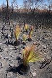 Fuoco dell'Australia cespuglio: alberi di erba bruciati che rigenerano Fotografie Stock Libere da Diritti
