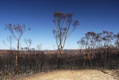 Fuoco dell'Australia cespuglio: alberi di eucalyptus bruciati distan Fotografia Stock