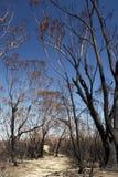 Fuoco dell'Australia cespuglio: alberi di eucalyptus bruciati v Immagine Stock