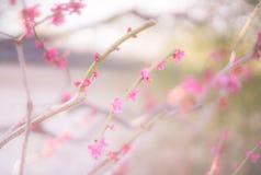 Fuoco di Plum Soft del giapponese luminoso Fotografia Stock Libera da Diritti