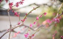 Fuoco di Plum Soft del giapponese luminoso Immagine Stock