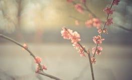 Fuoco di Plum Soft del giapponese luminoso Immagini Stock Libere da Diritti