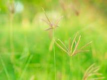 Fuoco molle del fiore dell'erba Fotografia Stock