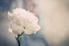 Fuoco molle e retro tono per un garofano di colore bianco nel fondo della pioggia Immagini Stock Libere da Diritti