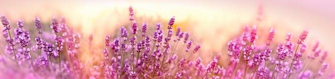 Fuoco molle e selettivo sul fiore della lavanda, bella lavanda in giardino floreale fotografia stock libera da diritti