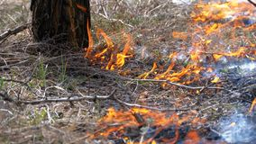 Fuoco nella foresta, nell'erba asciutta bruciante, negli alberi, nei cespugli e nei mucchi di fieno con fumo Movimento lento archivi video