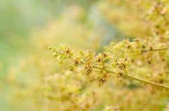 Fuoco selettivo del fiore del mango Fotografie Stock