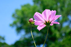 Fuoco selettivo del fiore lungo rosa del gambo in avanti Fotografie Stock