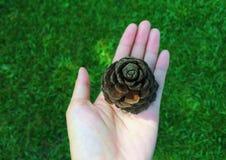 Fuoco selettivo del seme di pino sulla mano femminile Fotografia Stock Libera da Diritti