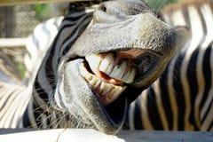 Fuoco selettivo del topo e dei denti della zebra all'aperto allo zoo Fotografie Stock Libere da Diritti