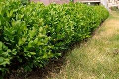 Fuoco selettivo dell'arbusto del legno di bosso Fotografia Stock
