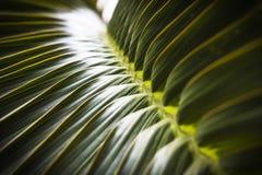 Fuoco selettivo della foglia verde della noce di cocco Immagini Stock