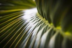 Fuoco selettivo della foglia verde della noce di cocco Fotografia Stock Libera da Diritti