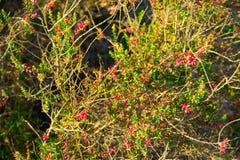 Fuoco selettivo delle piante succulenti selvatiche di Sedum con i germogli di fiore rossi su un prato Immagini Stock Libere da Diritti