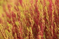 Fuoco selettivo di scoparia rosso di Bassia o del Kochia dall'obiettivo macro Immagine Stock Libera da Diritti
