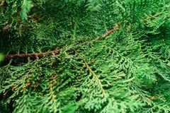 Fuoco selettivo, fine sulla vista della foglia del pino Immagini Stock