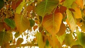 Fuoco selettivo foglie dell'albero dorato di Bodhi o di Pho, foglie in forma di cuore nella mattina del sole Gli alberi di Bodhi  Immagine Stock