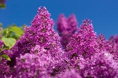 Fuoco selettivo lilla Fotografia Stock Libera da Diritti