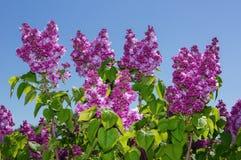 Fuoco selettivo lilla Immagine Stock Libera da Diritti