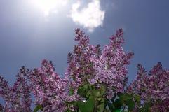 Fuoco selettivo lilla Fotografia Stock
