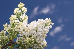 Fuoco selettivo lilla Immagine Stock