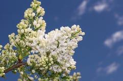 Fuoco selettivo lilla Immagini Stock