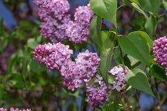 Fuoco selettivo lilla Fotografie Stock Libere da Diritti