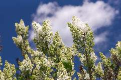 Fuoco selettivo lilla Fotografie Stock