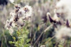 Fuoco selettivo, piante lanuginose del cardo selvatico in Hampstead Heath di Londra immagine stock