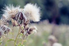 Fuoco selettivo, piante lanuginose del cardo selvatico in Hampstead Heath di Londra fotografia stock