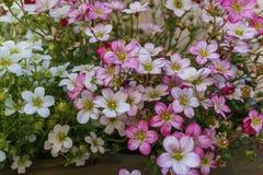 Fuoco selettivo su Rockfoil rosa, magenta e bianco e su Florida muscosa immagini stock libere da diritti