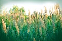 Fuoco selettivo sul seme di erba - fienarola dei prati Immagine Stock Libera da Diritti