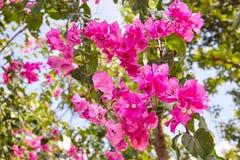 Fuoco selettivo sulla fioritura rosa del fiore della buganvillea fotografia stock