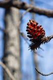 Fuoco straordinario di Forest Tree Pine Cone After Fotografie Stock