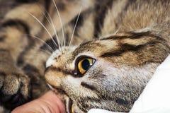 Fuoco a strisce del gatto sull'occhio Immagine Stock