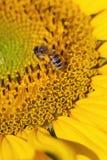 Fuoco sull'ape Fotografia Stock