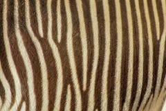 Fuoco sulle bande reali della zebra immagini stock libere da diritti