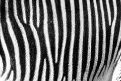 Fuoco sulle bande reali della zebra fotografie stock libere da diritti