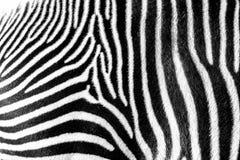 Fuoco sulle bande reali della zebra fotografia stock libera da diritti