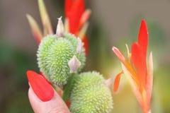 Fuoco vago e molle di morbidezza astratta delle unghie di trucco dal petalo del fiore del colpo indica e indiano di Canna con la  Fotografia Stock