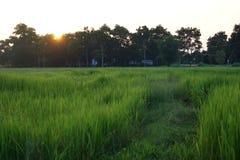Fuoco vago e molle di morbidezza astratta la siluetta del tramonto con il giacimento riproduttivo del risone di marrone della fas fotografia stock