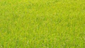 Fuoco verde dell'azienda agricola Fotografia Stock